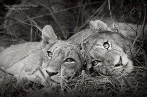 LionSiblings